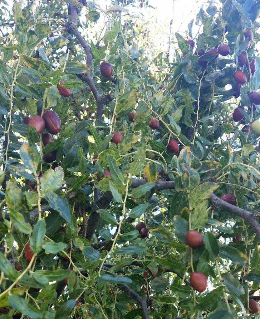 Albero di giuggiole in autunno. Quando i frutti sono maturi posso andare ad ammirare il foliage in mugello