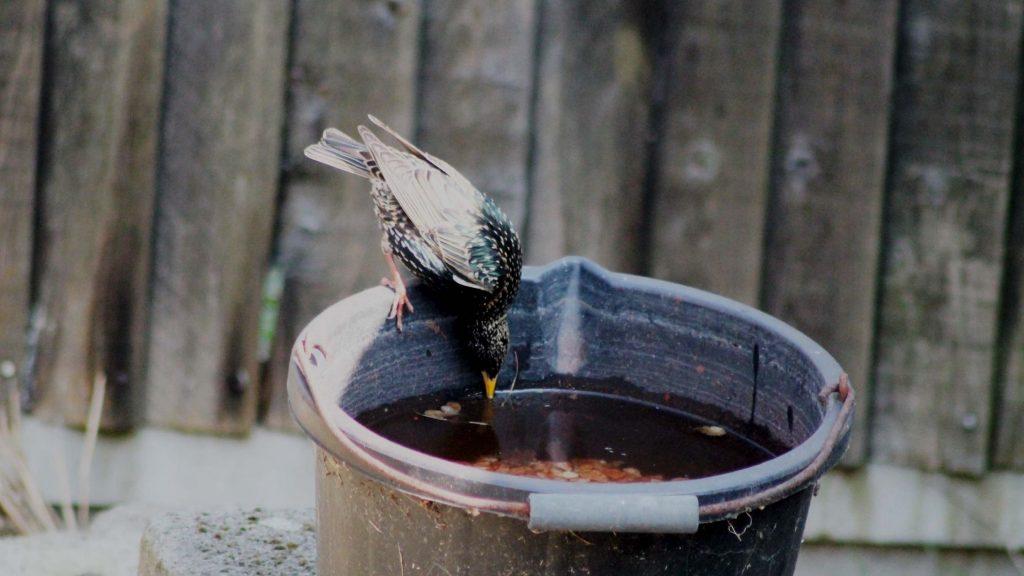 Un uccellino che beve acqua da un catino. In inverno è importante proteggere gli uccellini dal rigore. Fare trovare ciotole di acqua fresca è importante