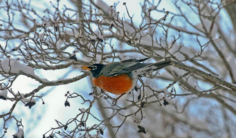 un pettirosso su un ramo ghiacciato
