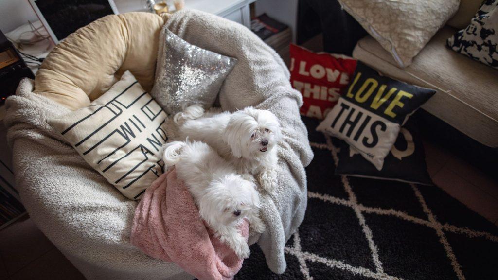 due piccoli cagnolini bianchi comodamente sdraiati sul divano imbottito di coperte di una casa calda ed accogliente.Imparare come proteggere gli animali dal freddo è importante