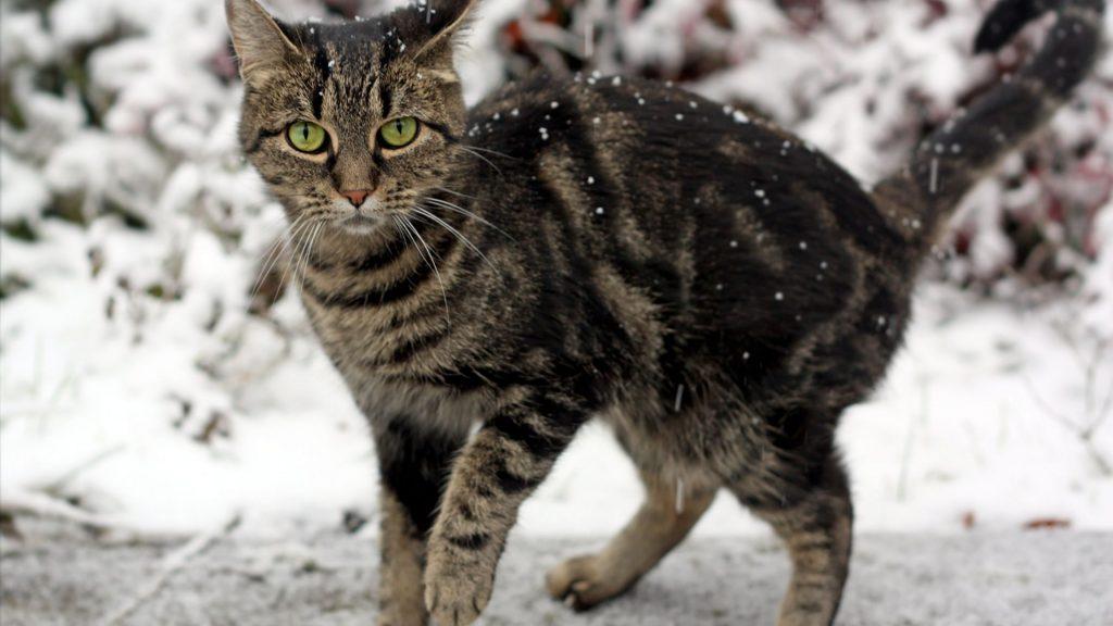 Gatto tigrato che passeggia fra cumuli di neve ghiacciata