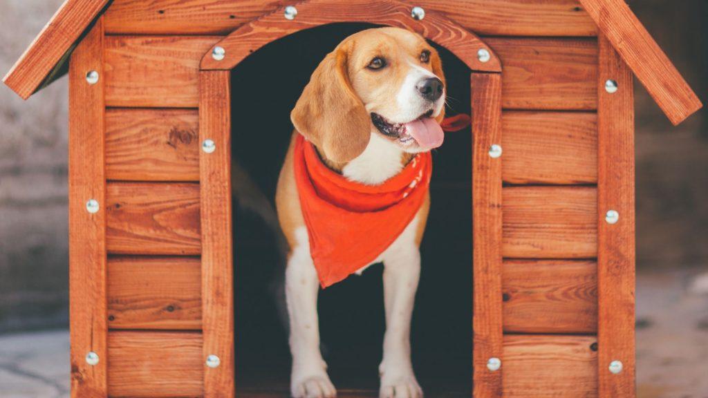 Un cane bracco all'entrata della sua cuccia esterna. Ha un bel fazzoletto rosso al collo. Imparare come proteggere gli animali dal freddo è importante