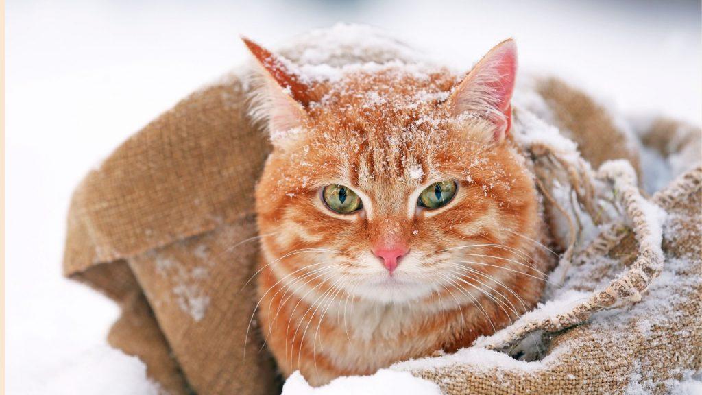 Un gatto in mezzo alla neve, dentro ad una coperta. come proteggere gli animali dal freddo è importante