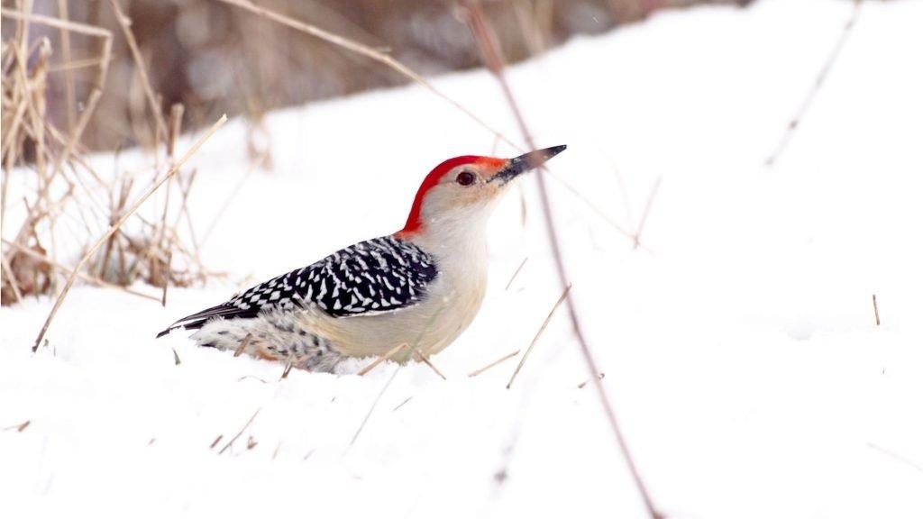 Un codirosso zampetta nella neve. D'inverno gli uccelli fanno molta più fatica ad alimentarsi
