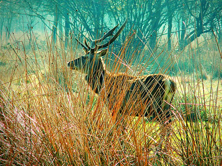Cervo autoctono discendente dal Cervo Nobile del Bosco Della Mesola
