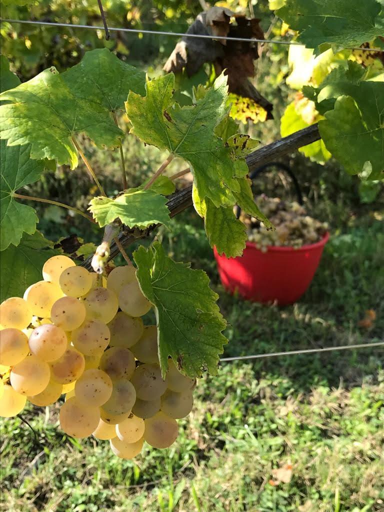 tra le eccellenze gastronomiche di Romagna i vini della vena del gesso un grappolo di uva trebbiano maturo della vineria Coramella a Brisighella