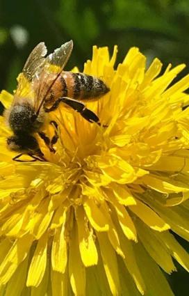 un' ape in vigna, su un fiore di tarassaco il rispetto per la natura spiega i vini naturali cosa sono ci raccontano i soci titolari della vineria Coramella di Brisighella