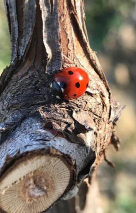 un tronco di vite con una coccinella il vino naturale si ottiene da vigne naturali