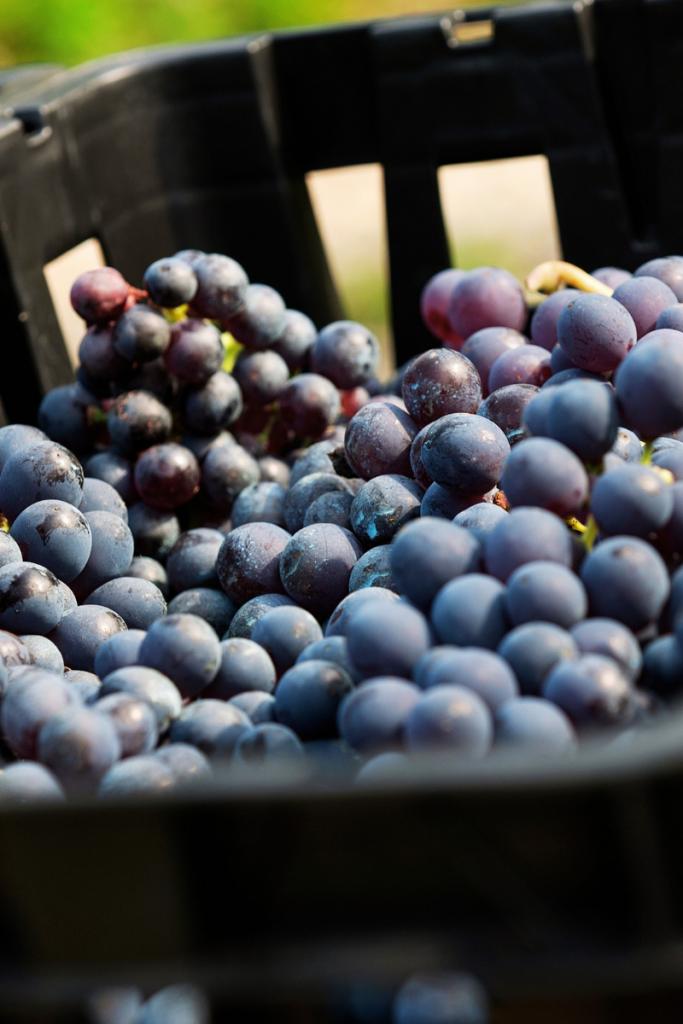 tino con uva rossa in vendemmia per produrre vino naturale che poi andrà venduto alla vineria Coramella di Brisighella, vineria di vino naturale