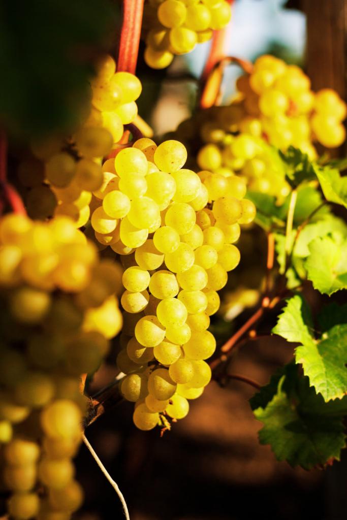 grappolo di uva in vendemmia per produrre vino naturale che viene venduto presso la vineria Coramella di Brisighella