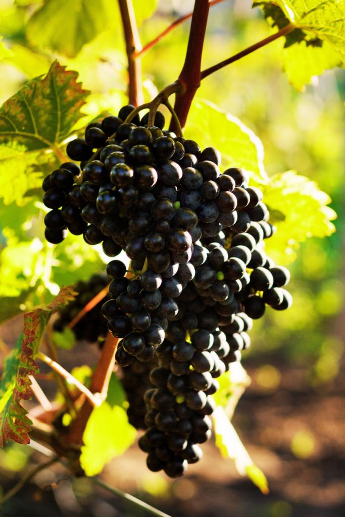 grappolo di uva rossa in vendemmia per produrre vino naturale che poi andrà venduto alla vineria Coramella di Brisighella, vineria di vino naturale