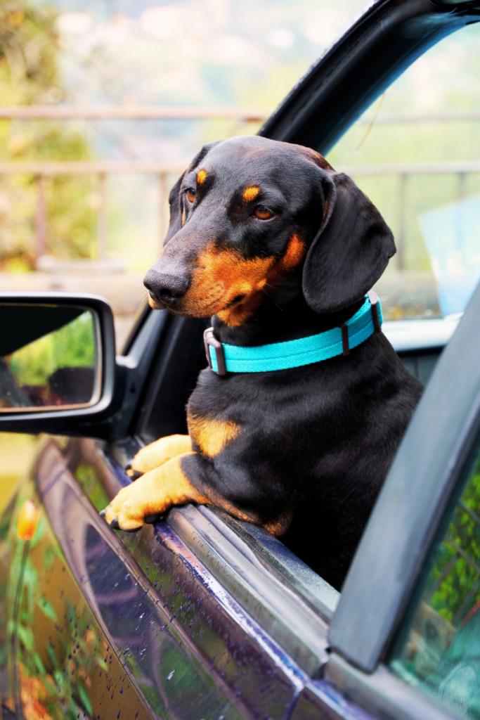 un cane al finestrino, pronto per partire per le vacanze dog friendly in Romagna territorio sempre più pet friendly