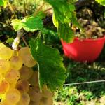 vendemmia per produrre vino naturale che viene venduto presso la vineria Coramella di Brisighella